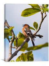 Male chaffinch on tree singing, Canvas Print
