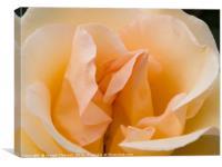 Peach coloured rose petals, Canvas Print