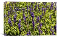 Lavender in Tihany, Hungary, Canvas Print