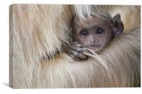 Baby Langur Monkey, Canvas Print