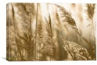 Grass in the evening sun, Canvas Print
