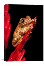 Peacock Tree Frog Portrait, Canvas Print