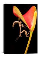 Bud Winged Mantis, Canvas Print