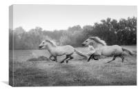Stallion run in mono, Canvas Print