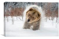 Bear Shake, Canvas Print