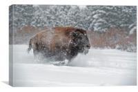 Bison Run, Canvas Print