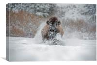 Bison running at you, Canvas Print