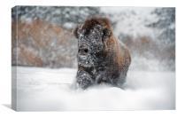 Bison Close Up, Canvas Print