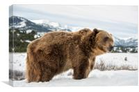 Grizzly Bear, Canvas Print