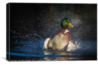 Like water of a ducks back, Canvas Print