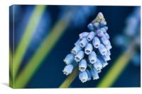 Grape Hyacinth, Canvas Print