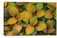 Fittonia Albivenis 'Skeleton', Canvas Print