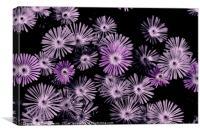 Delosperma 'Stardust', Canvas Print