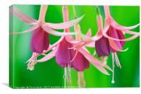 Trailing Fuchsia, Canvas Print