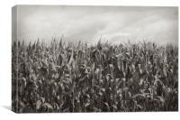 Corn Fields, Canvas Print