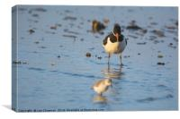 Oystercatcher confused by Sanderling, Canvas Print