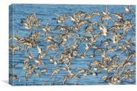 Flock of Sanderlings, Canvas Print