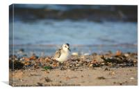 Lone Sanderling, Canvas Print