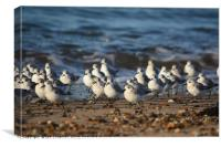 Grain of Sanderlings, Canvas Print