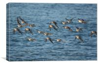 Grain of Sanderlings in Flight, Canvas Print