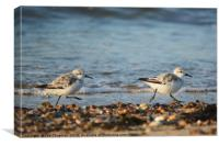 Sanderlings on the Run, Canvas Print