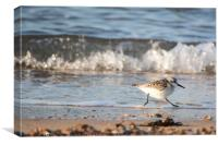 Run, Sanderling, Run, Canvas Print