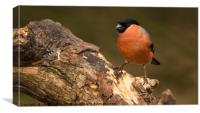Proud Bullfinch, Canvas Print
