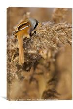 Hungry Bearded Tit Eating the Seeds , Canvas Print