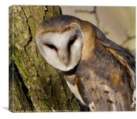 Resting Barn Owl, Canvas Print