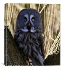Oh Ello Ello Ello!! (Great Grey Owl), Canvas Print