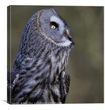What's going on up there!! Great grey owl (Strix n, Canvas Print