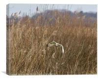 Short Eared Owl Hunting for Lunch!, Canvas Print