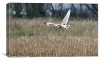 Short Eared Owl about to Land, Canvas Print