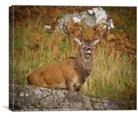 Highland stag , Canvas Print