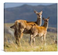 Highland fawns with Hind, Canvas Print