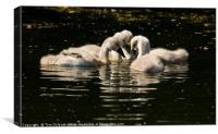 Mute Swan Cygnets  , Canvas Print