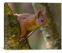 Inquisitive red squirrel., Canvas Print