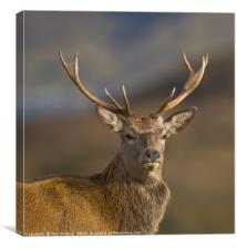 Highland Red deer Stag portrait, Canvas Print