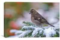 Female Chaffinch in the snow, Canvas Print
