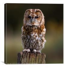 Posing Tawny Owl , Canvas Print