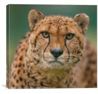 Cheetah eye focus, Canvas Print