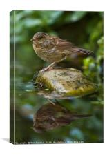 Dunnock reflection, Canvas Print