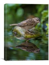 Sparrow reflection, Canvas Print