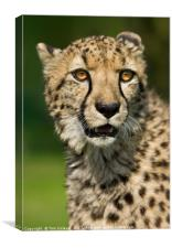 Cheetah portrait, Canvas Print