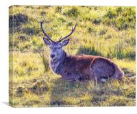 Resting Highland Stag, Canvas Print