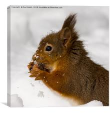 Red Squirrel Freeze Burn Nooooo!, Canvas Print