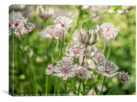 Pink and White Astrantia, Canvas Print