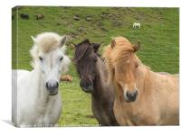 Hear no, see no, speak no - Icelandic Horses, Canvas Print