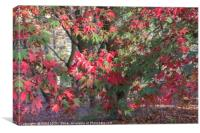 Red Maple in Autumn Sunshine, Canvas Print