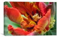 Fiery Parrot Tulip, Canvas Print